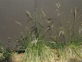 Image of chilean needle grass