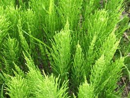 Image of Horsetail Foliage